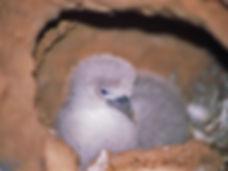 wedgie chick in sand burrow.jpg
