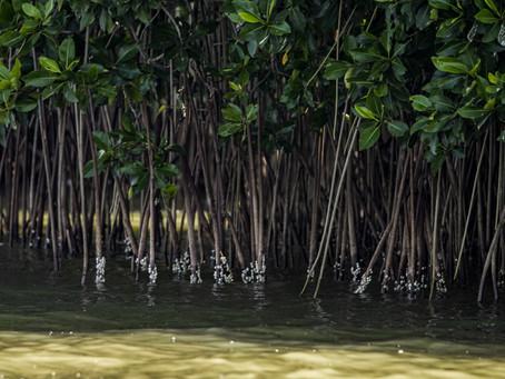 Hoy es el Día Internacional de la Defensa del Ecosistema de Manglar