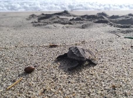 Nacen 105 tortugas 'Caretta'  en el Parque  Tayrona