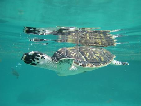 Playas de Cartagena se alistan para recibir nidos de tortugas Carey
