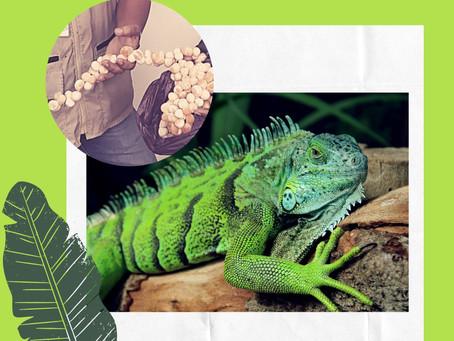 En este año se  han incautado más de 700 mil huevos de iguana en el Bolívar