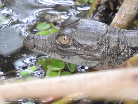 25 caimanes aguja nacieron en el Vía Parque Isla de Salamanca