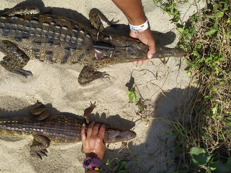 Inició proyecto de investigación sobre el Caimán aguja en el Parque Nacional Natural Tayrona