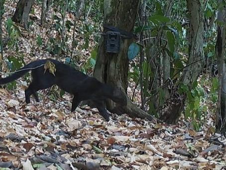 Cámaras trampas observan un Jaguarindu en el área protegida de Bolívar
