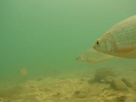 26 especies de bocachico migran desde el río Ranchería en la Guajira