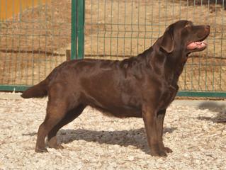 Nova ninhada de cachorros Labrador Chocolate