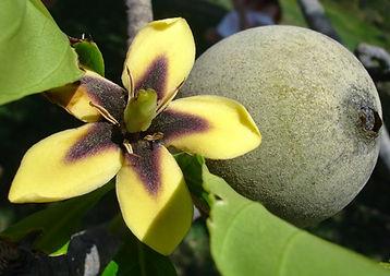 fruta jenipapo