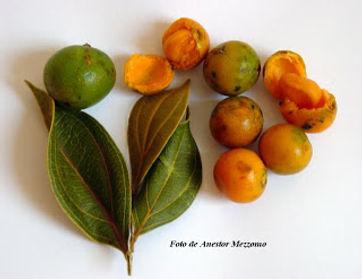 fruta quina