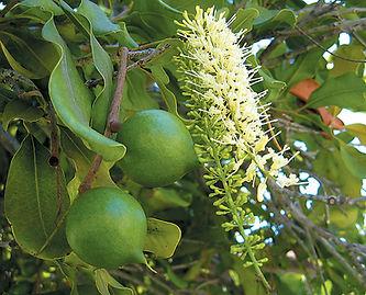 plantar macadamia