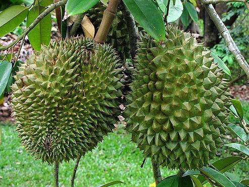 plantar durian