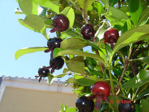fruta grumixama