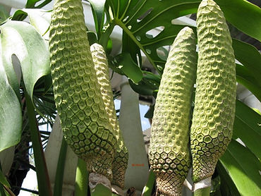 fruta costela de adão