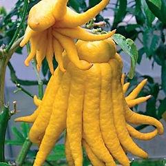 fruta limao de buda
