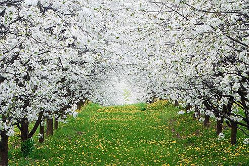 plantar maçã