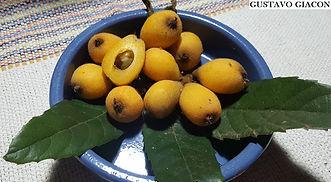 fruta nêspera