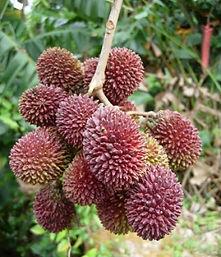 fruta pulasan