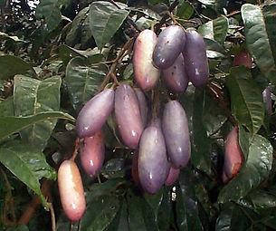fruta safou