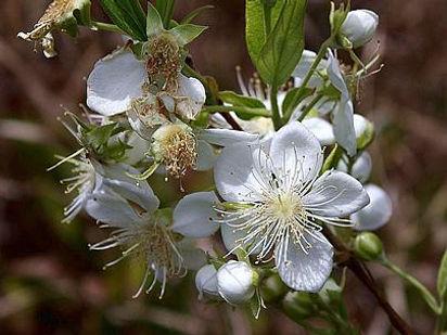 plantar guabiroba