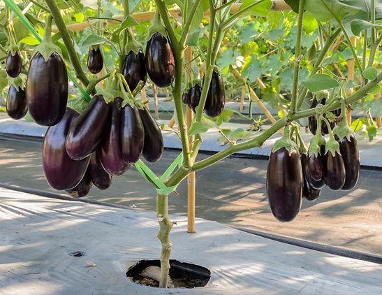 plantar beringela