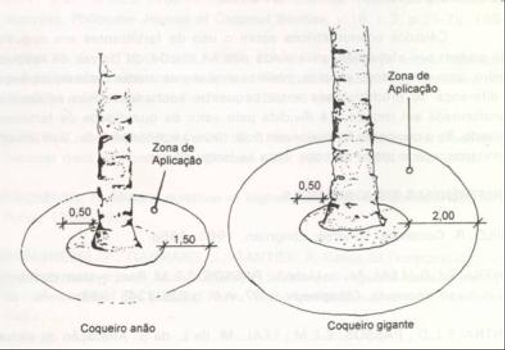 plantio de coco