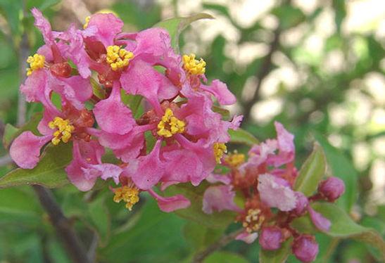 flor acerola