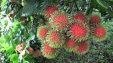 fruta rambutan