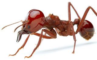 formigas cortadeiras e carregadeiras