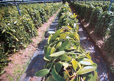 cultivo baunilha
