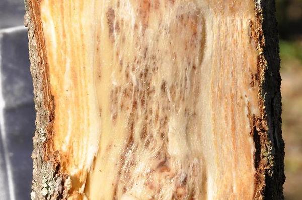 doença kiwi