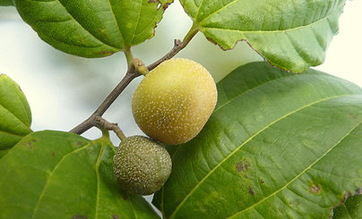 fruta juá