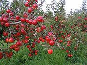 macieira.jpg