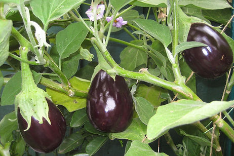 cultivo berinjela