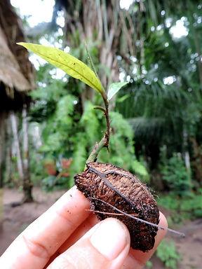 plantar castanha