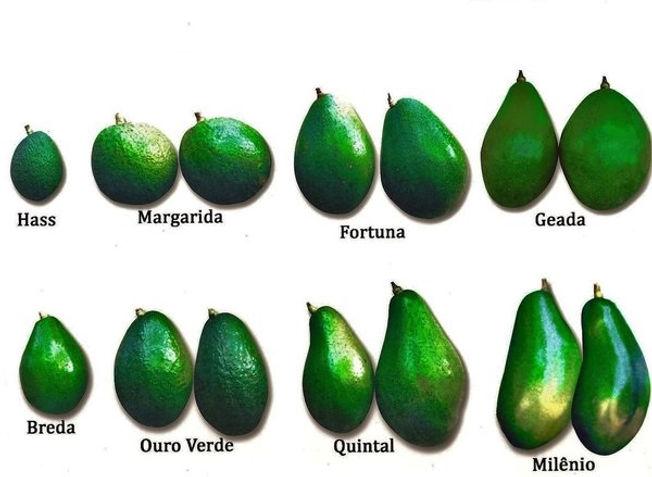 como abacate plantar em vaso