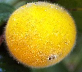 fruta cabeludinha