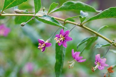 plantar  goji berry