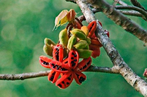 sementes-arvore-sterculia-striata-chicha