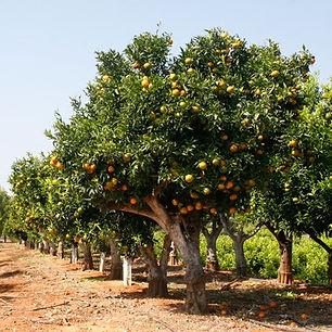 plantar laranja