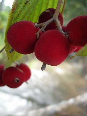 veludo fruta