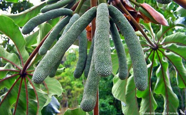 fruta embaúba