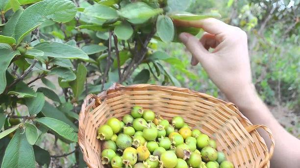 guabiroba fruta