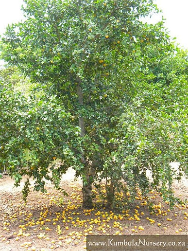 árvore dovialis