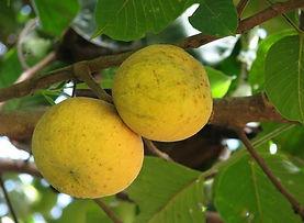 santol fruta