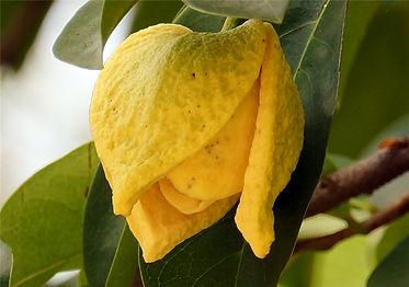flor graviola