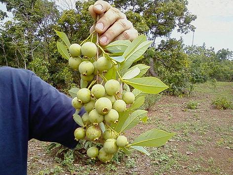 planta guabiroba
