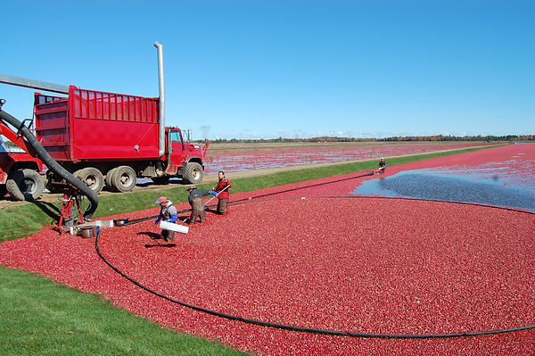 plantio Cranberry