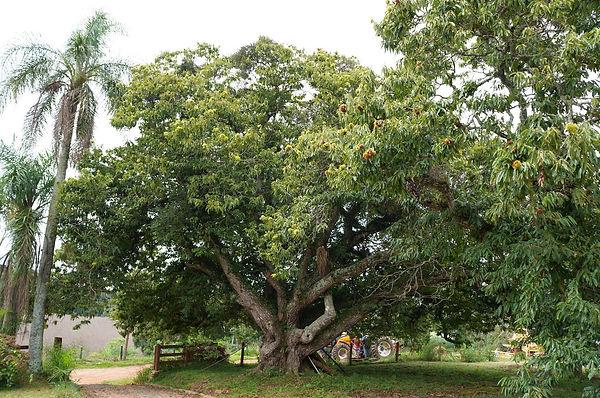 árvore castanha portuguesa