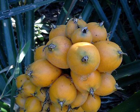 Gravatá fruta