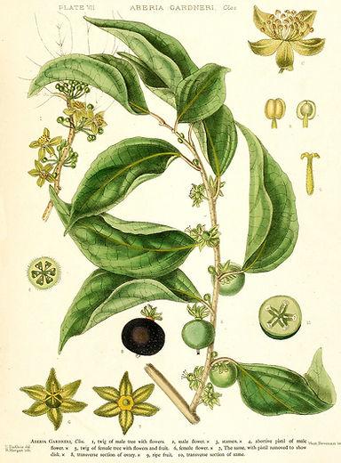 flor dovialis