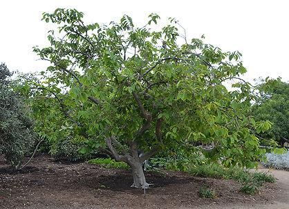 plantar pinha